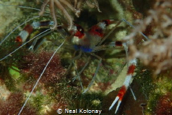 A coral banded shrimp. One of my first photos, I'm trying... by Neal Kolonay